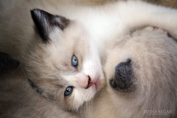 siamese kittens curled up together napping