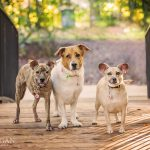 three dogs one special needs tripod dog photographed on bridge in grapevine texas
