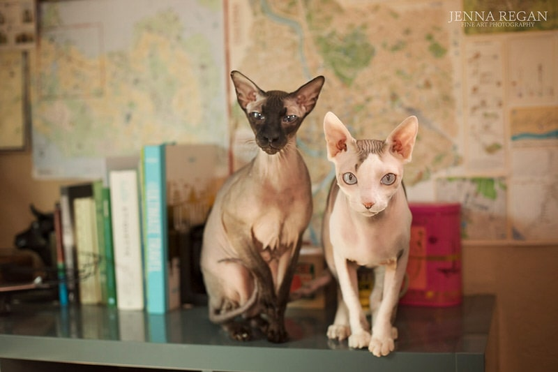 two hairless cats in front of map in dallas texas townhouse during custom photo shoot