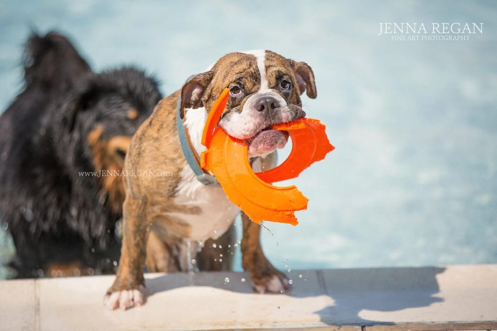 bulldog playing at water park dallas fort worth dog event