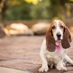 wiggs female basset hound from argyle texas pet photographer shoot