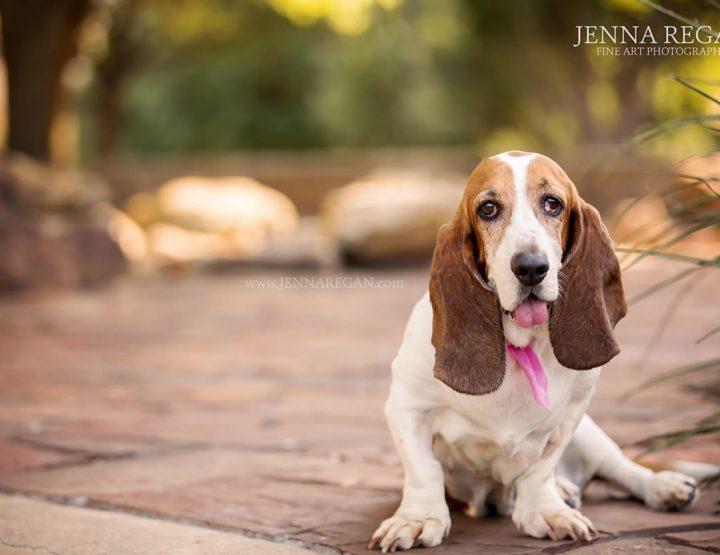 Wiggs | Miss July | Argyle Dog Photography | Basset Hound Rescue Calendar Project