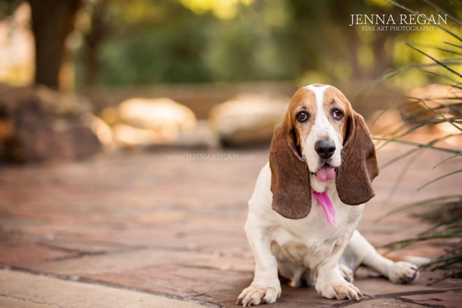 Wiggs | Miss July | Argyle Dog Photography | Basset Hound Rescue Calendar Project