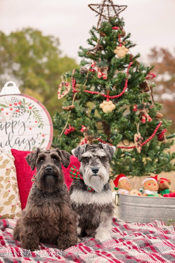 schanuzers in front of christmas tree during holiday pet photo shoot