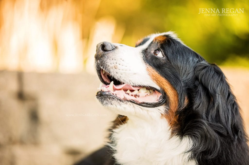 bronson senior ill bernese mountain dog photo shoot carrollton texas