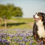 bronson the bernese mountain dog photo session in bluebonnets - jenna regan photogrraphy