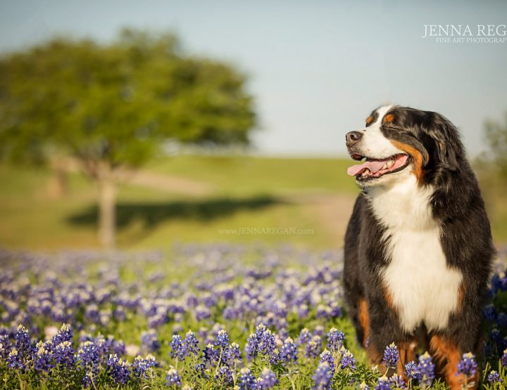 Bronson in the Bluebonnets | In Loving Memory | Carrollton Dog Photography Session
