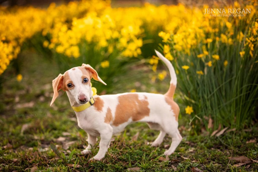 dachshund in yellow wildflowers- jenna regan photography north texas