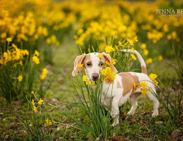 Celebrating Spring with Photographing Pets in Wildflowers, Bluebonnets | Dallas Fort Worth Pet Photographer