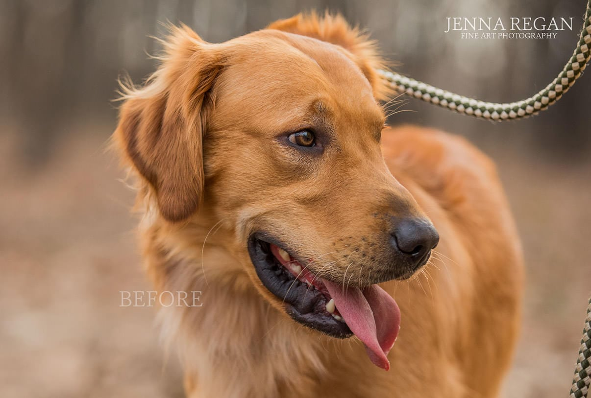 before editing outdoor dog photography headshot of golden retriever