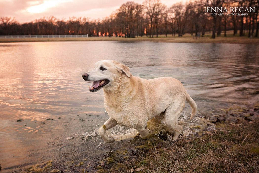 golden retriever swimming in pond during photo shoot