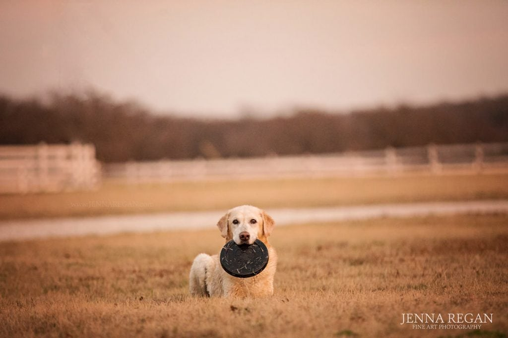 lab with Frisbee during photo shoot