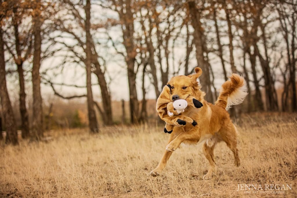 golden retriever action shot