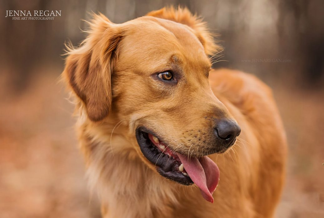 outdoor dog photography headshot of golden retriever