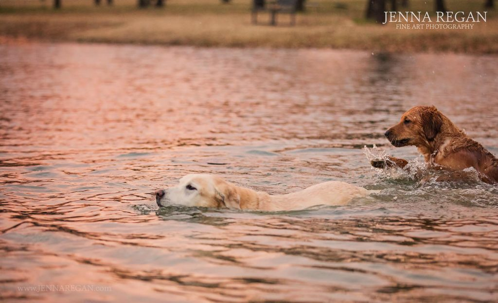 lab swimming in pond during photo session