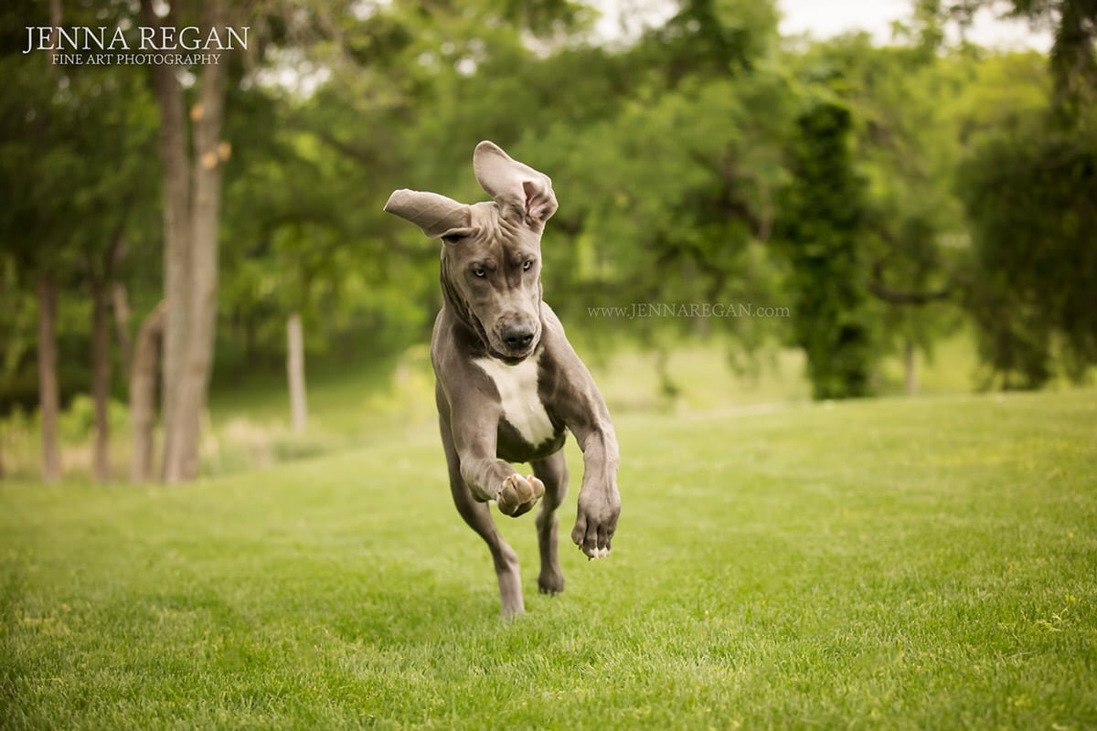 great dane puppy photo shoot prosper texas after editing
