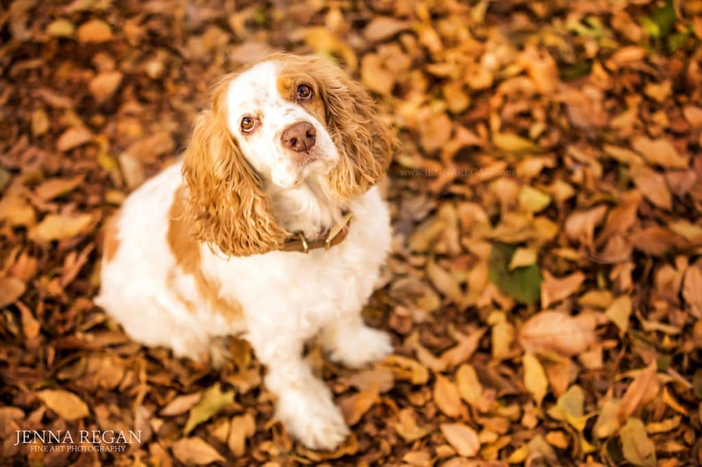 cocker spaniel in fall leaves looking up at pet photographer jenna regan