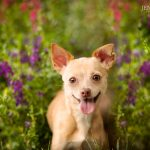 chiweenie dog in flowers during dog photography session