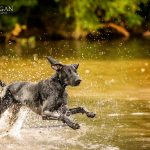 german shorthair pointer swimming in texas pond- summer dog activities