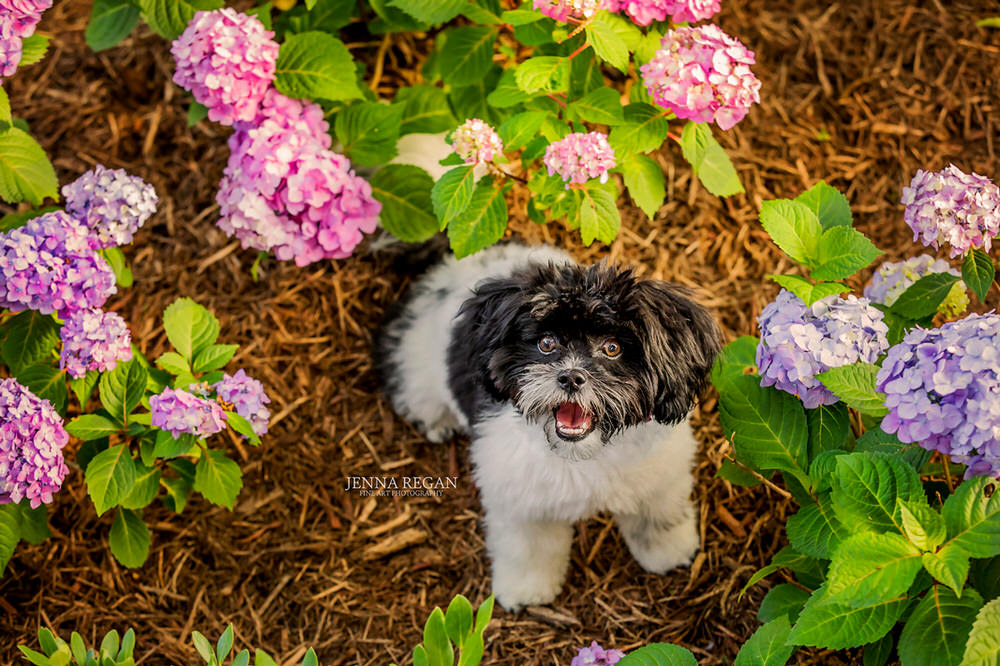 maltipoo puppy photo session with pet photographer in dallas texas jenna regan