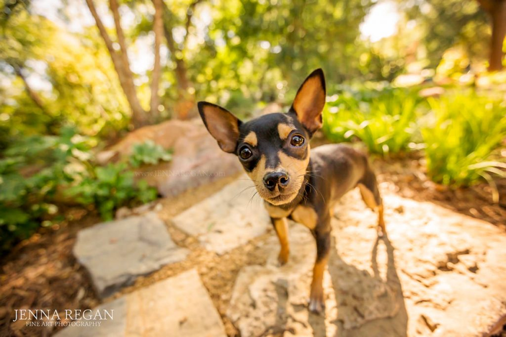 chihuahua puppy during photo shoot by dog photographer jenna regan in north texas park