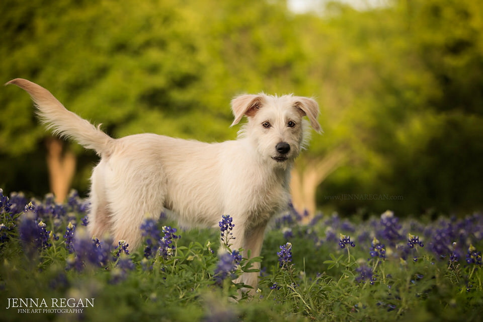scruffy white puppy dog in bluebonnet photographed by dallas pet photographer jenna regan
