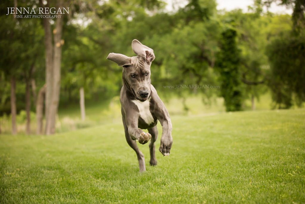 great dane playing during puppy photo shoot prosper texas with pet photographer jenna regan