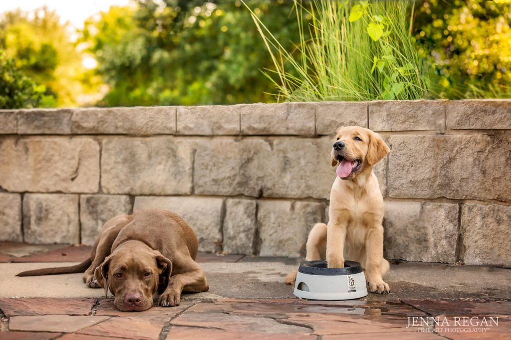 golden retriever puppy with pit bull dog outdoor dog photo shoot with professional pet photographer
