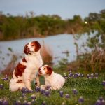 brittany spaniels in the bluebonnets in front of lake